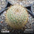 MAMMILLARIA yucatanensis L 1507