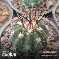 Melocactus 455/102