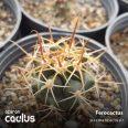 Ferocactus KP 778