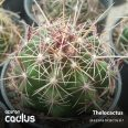 Thelocatus bocolor RUS 028