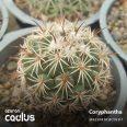 Coryphantha Pallida MR 46