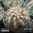 Thelocactus bicolor SB 567