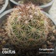 Coryphantha ramillosa RS 1143