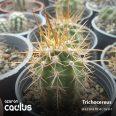Trichocereus chiloensis BCHK 1332