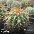 Trichocereus 5013