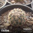 Coryphantha pallida MR46 A