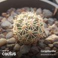 Coryphantha difficilis LM292