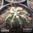 Astrophytum capricorne PP 472